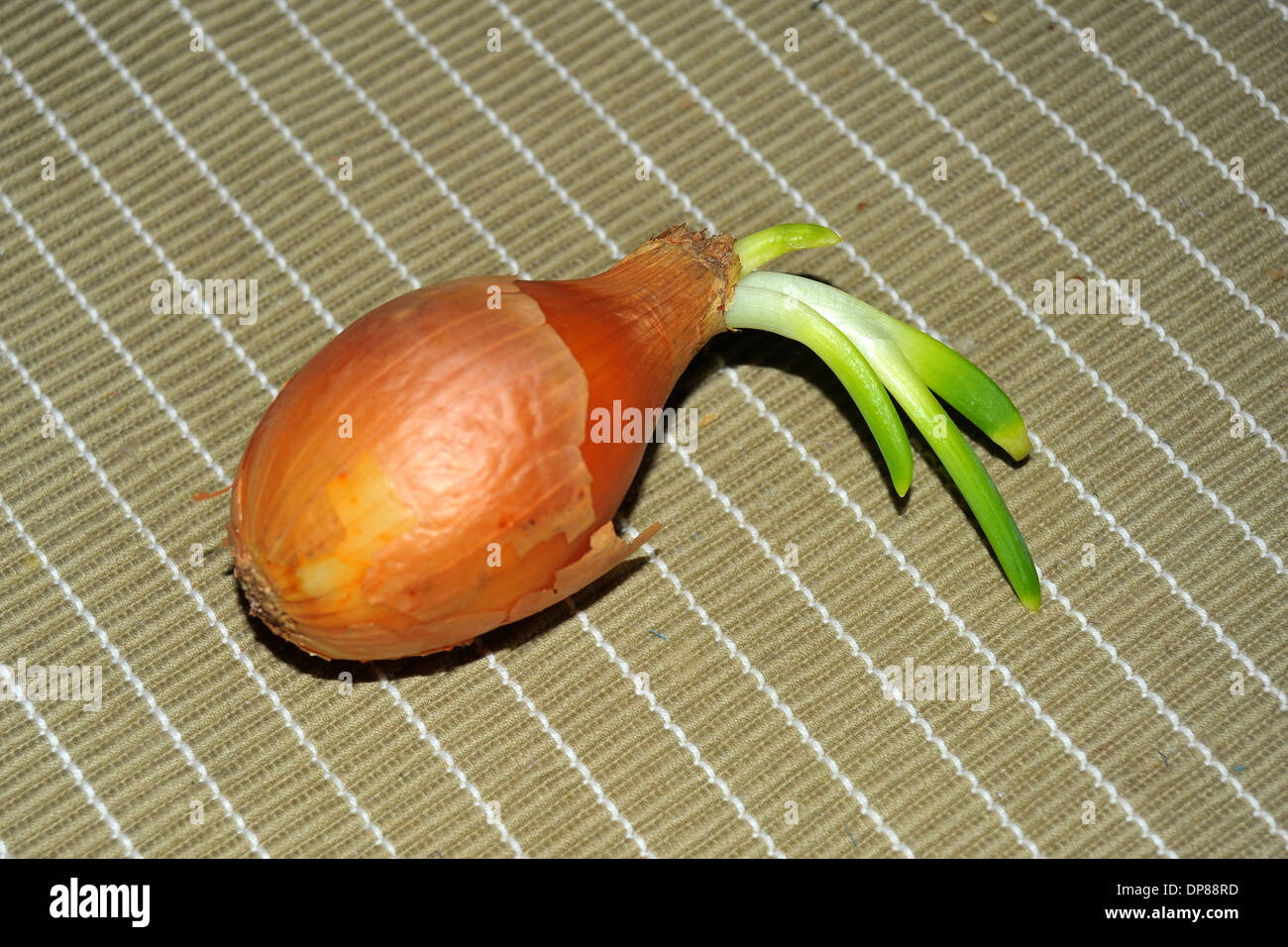 An onion with stems growing out of it. - Stock Image
