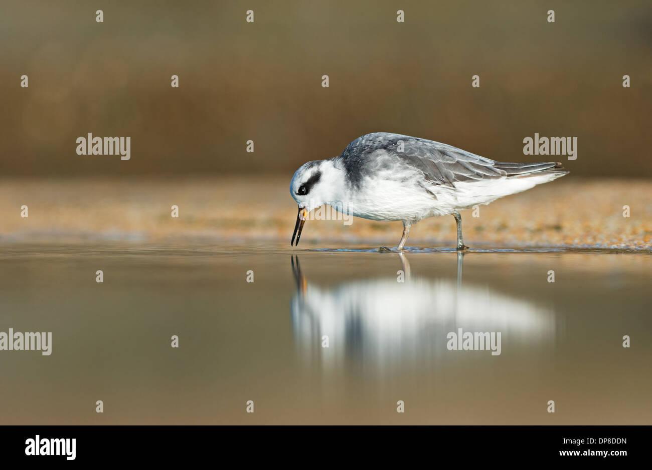 Grey Phalarope-Phalaropus fulicarius, Winter. Uk Stock Photo