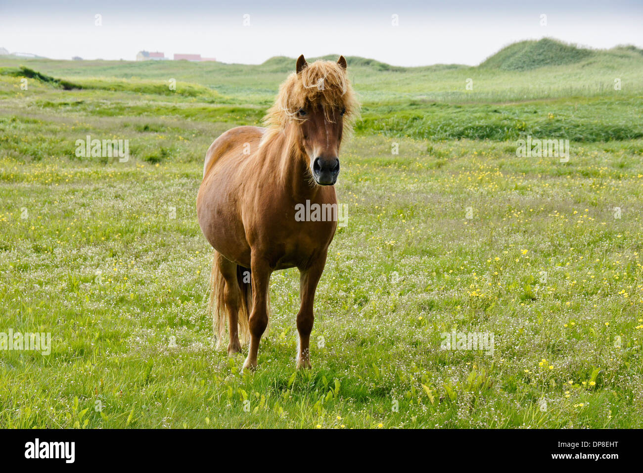 Icelandic horse grazing in field, Iceland - Stock Image