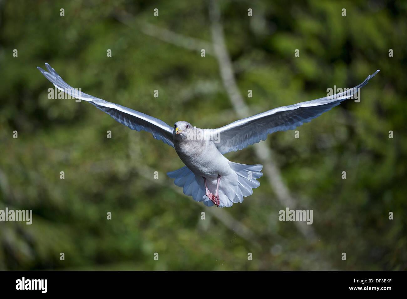 Glaucous-winged Gull (Larus glaucescens) in flight, Thronton Fish Hatchery, Ucluelet , British Columbia, Canada - Stock Image
