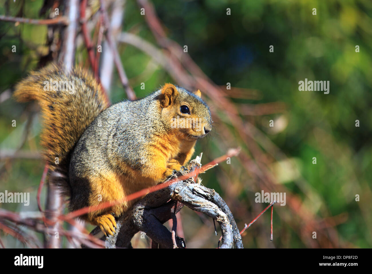The Fox Squirrel (Sciurus niger), also called the eastern fox squirrel or Bryant's Fox Squirrel are the largest Stock Photo