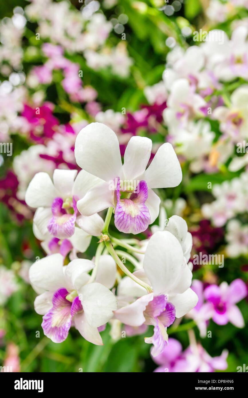 Beautiful orchid flowers closeup stock photos beautiful orchid beautiful orchid flowers closeup stock image izmirmasajfo