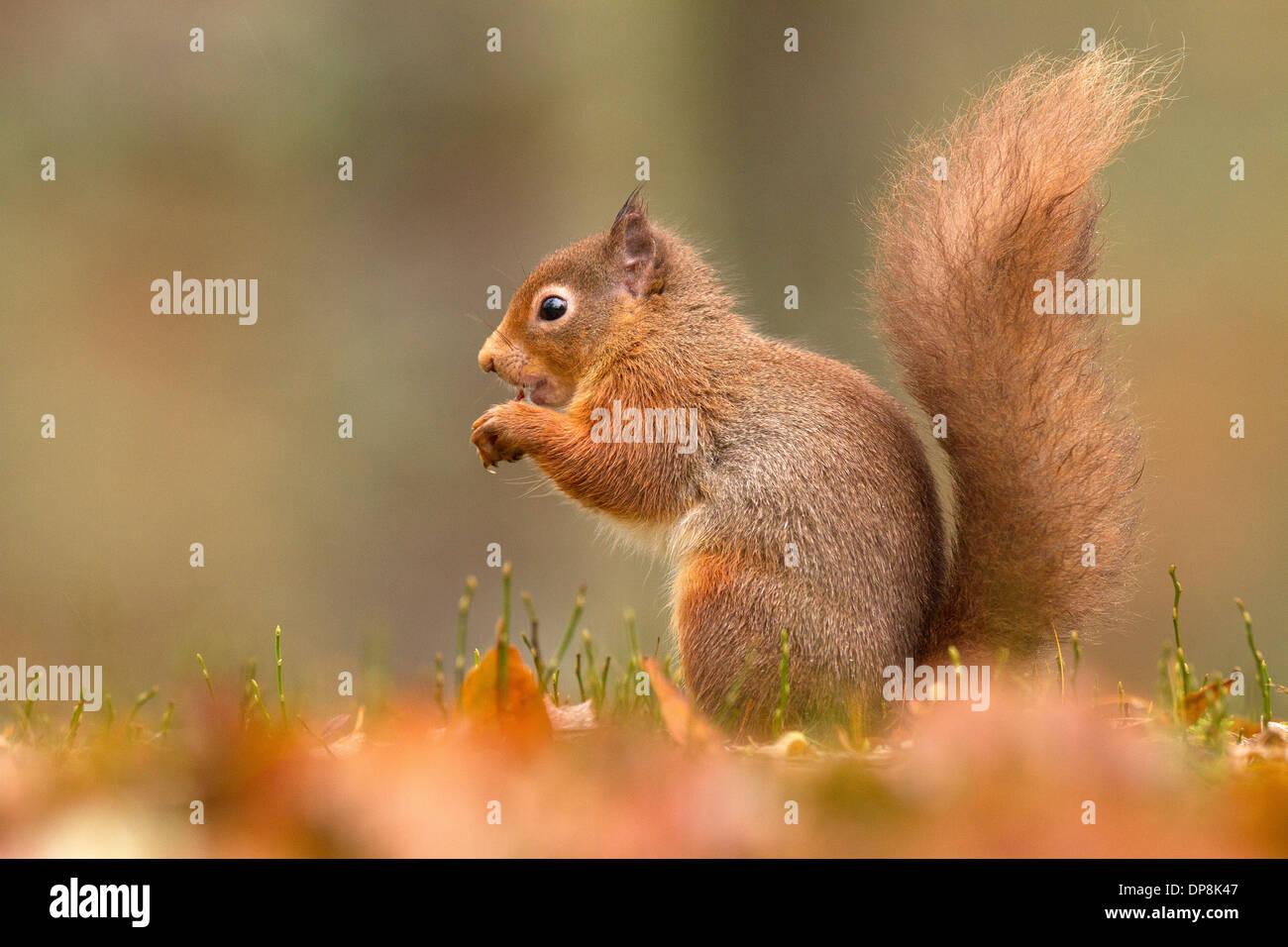 Red Squirrel, Sciurus vulgaris on the ground feeding - Stock Image