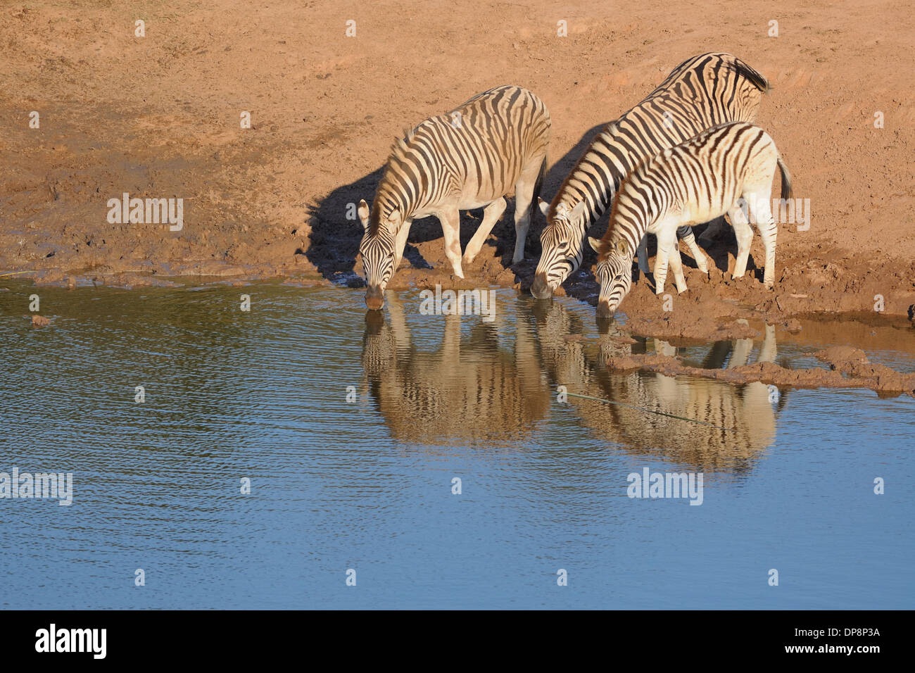 Burchell's zebras (Equus burchellii), drinking at a waterhole, Addo National Park, Eastern Cape, South Africa, Africa Stock Photo