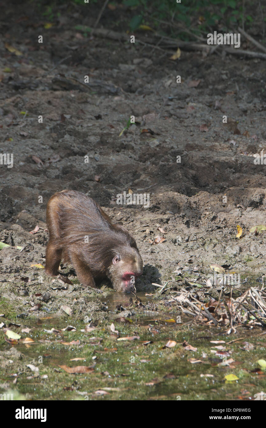 Drinking Stump-tailed macaques(Macaca arctoides) - Stock Image