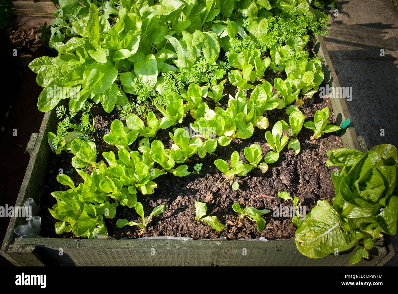 young salad seedlings in raised wooden planter - Stock Image