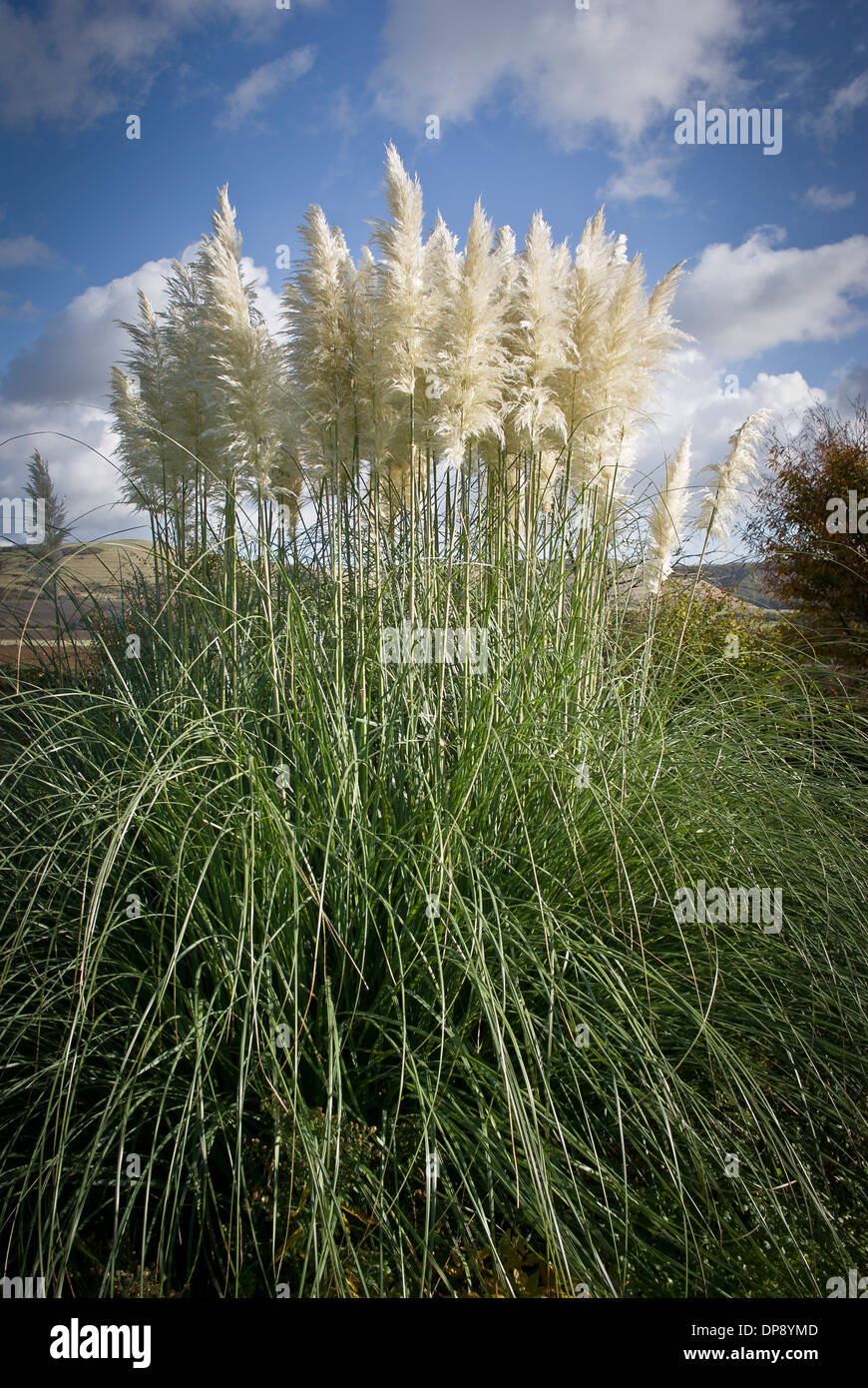 Plumes of cortaderia selloana in upright photograph - Stock Image