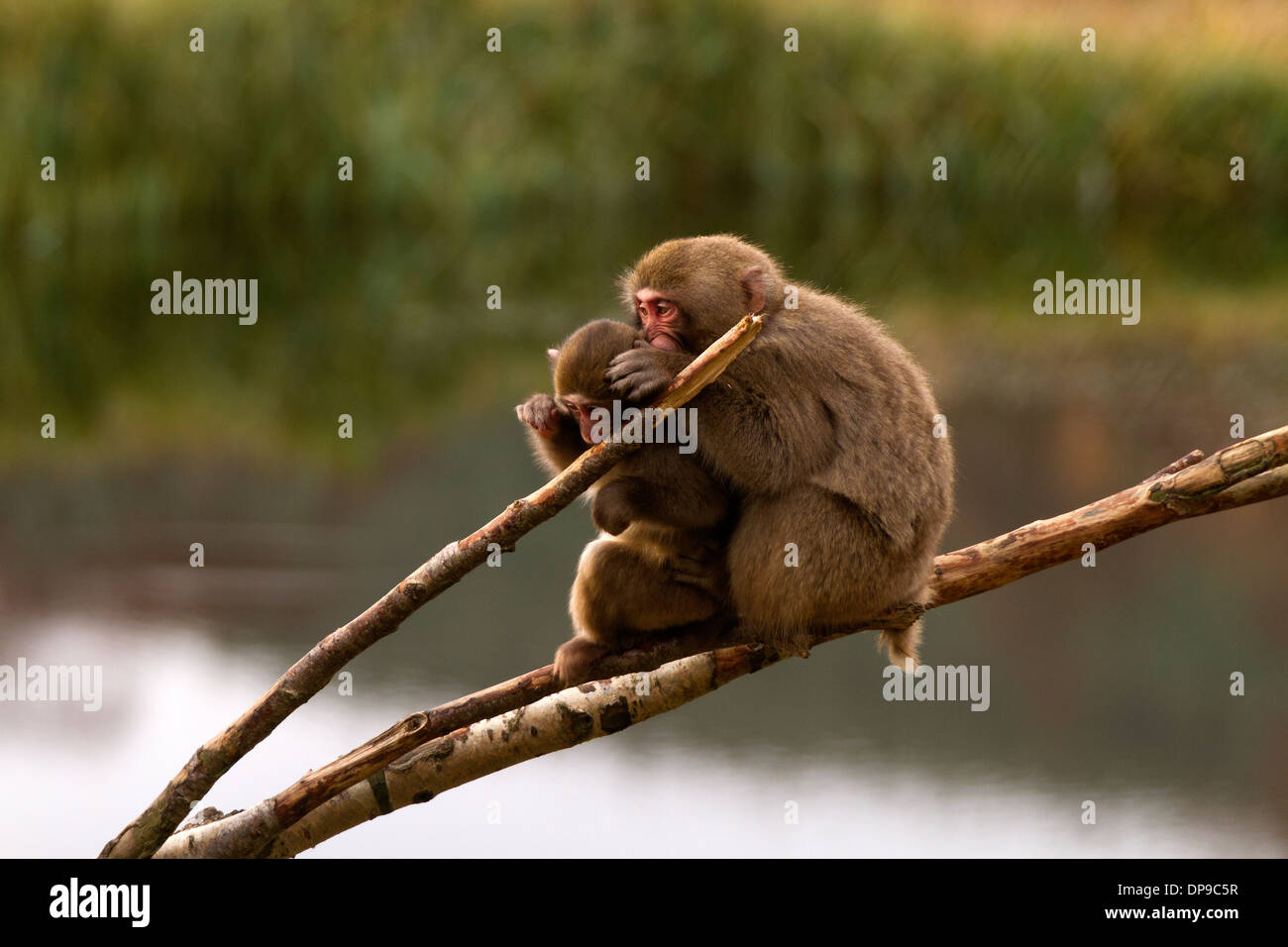 Japanese Macaque; Snow Monkey; Macaca fuscata knit picking Stock Photo