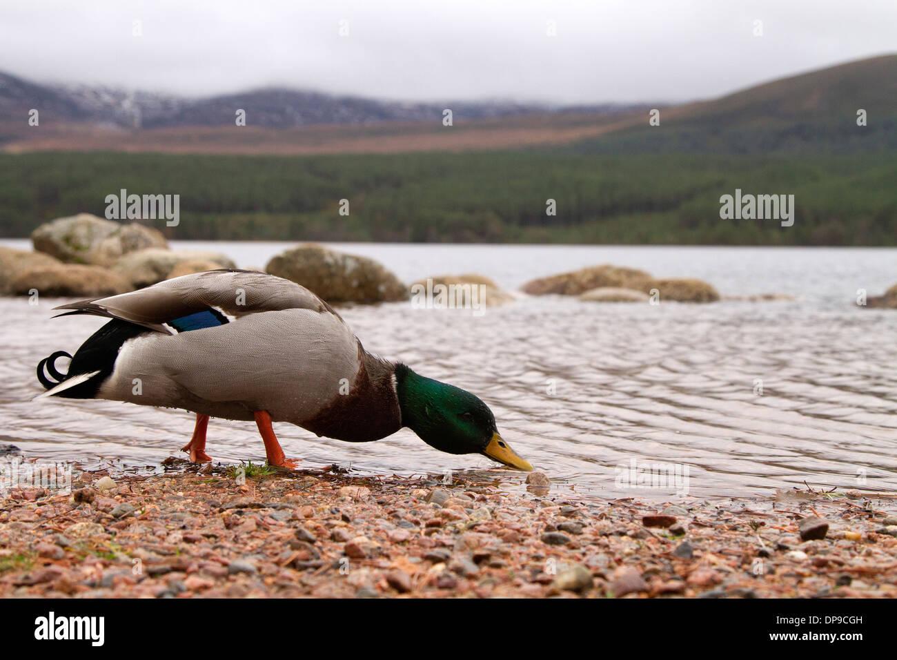 Mallard drake, Anas platyrhynchos in Scotland's highlands - Stock Image