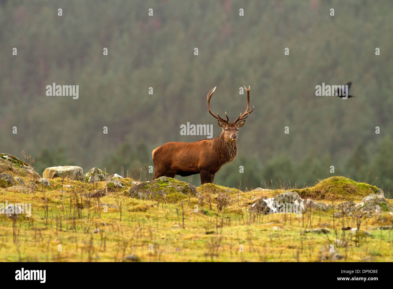 Red Deer Stag in Scotland's highlands Stock Photo