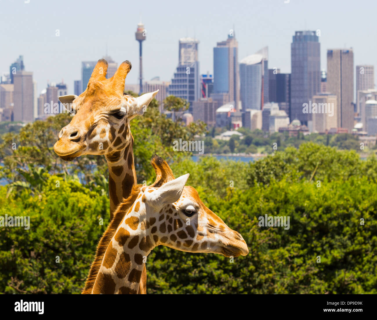 Giraffes in Taronga Zoo, Sydney, Australia with the city behind - Stock Image