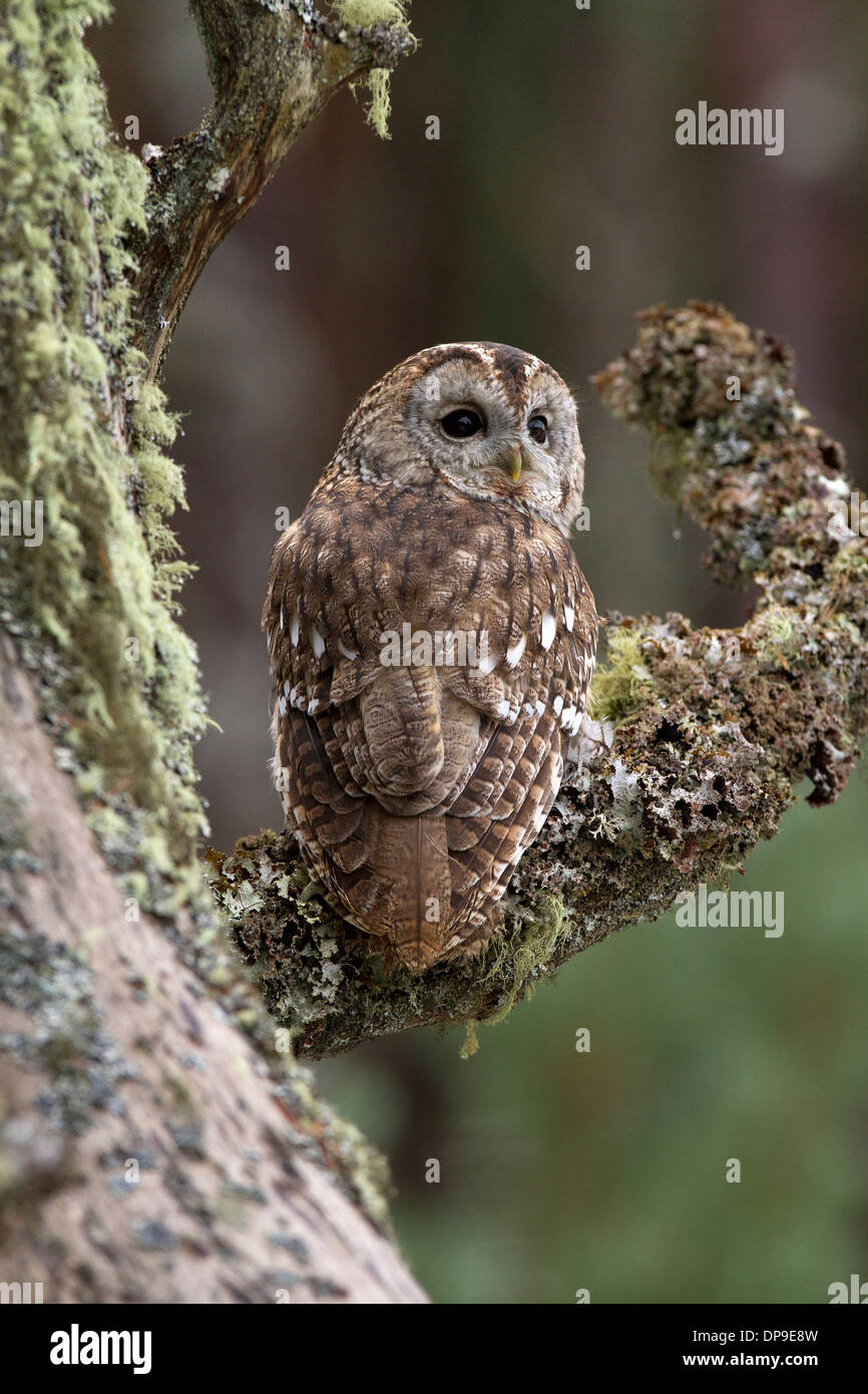 Tawny Owl, Strix aluco sitting in a pine tree - Stock Image