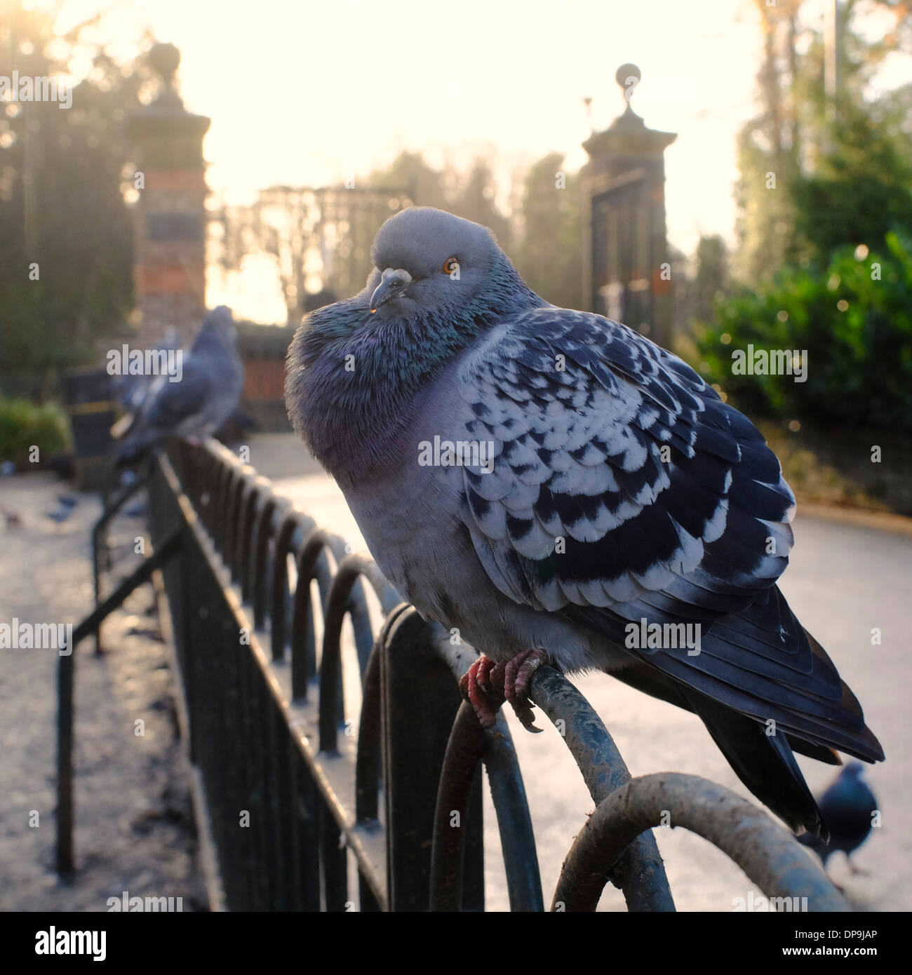 pigeon on fence looking unwell with swollen throat and runny nose possibly with bird flu - Stock Image
