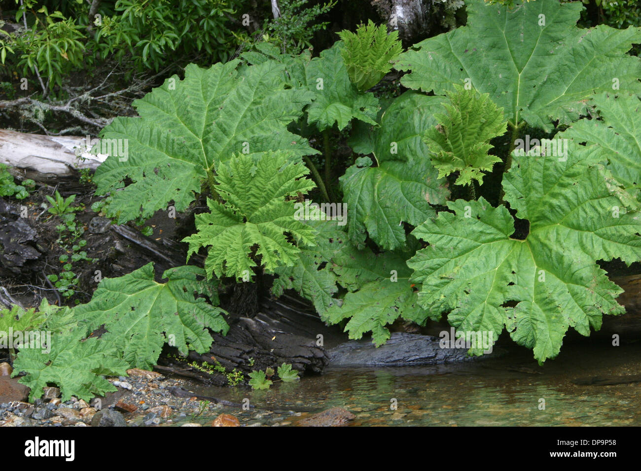 A Nalca or Pangue plant, Parque Aiken del Sur preserves a section of native forest near Puerto Chacabuco, Chile Stock Photo