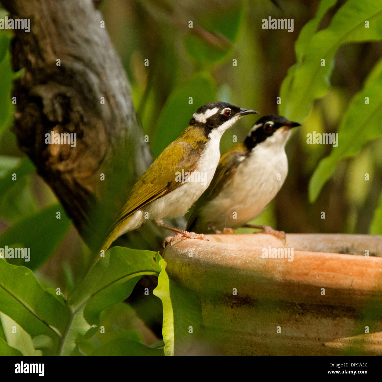 Pair of Australian white throated honeyeaters, Melithreptus albogularis on edge of terracotta bird bath in sub-tropical Stock Photo