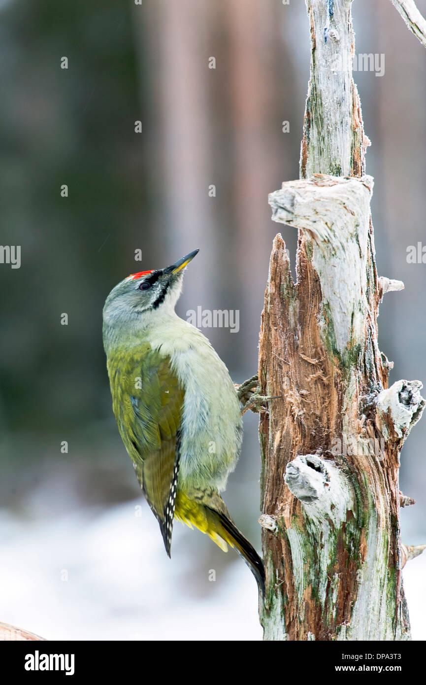 grey headed woodpecker - Stock Image