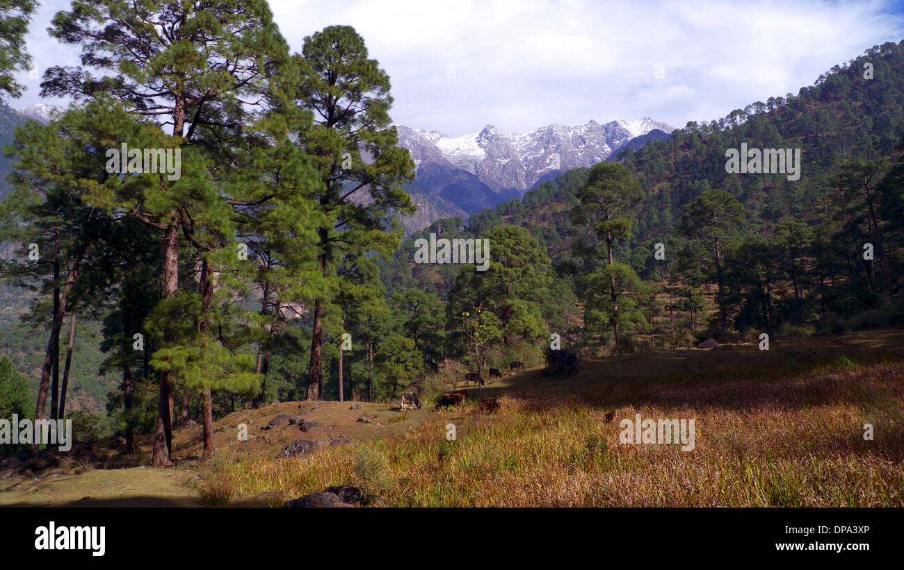 Cattle grazing at edge of pine forest, Dharamasala, Himachal Pradesh, North India, with Dhauladhar mountains beyond. - Stock Image