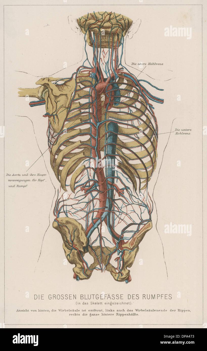 torso blood circulation