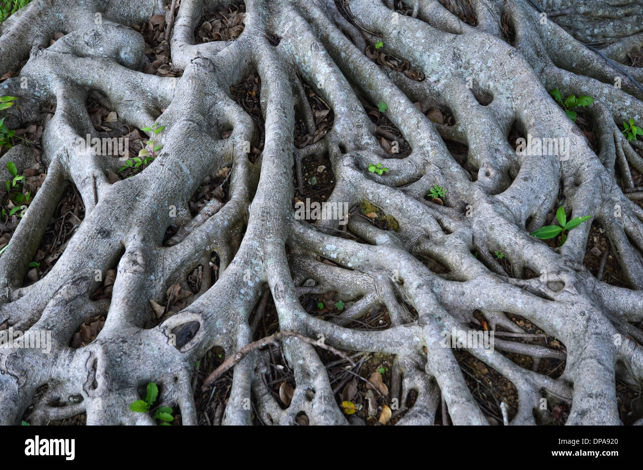 Network of growing wooden roots on ground - Stock Image
