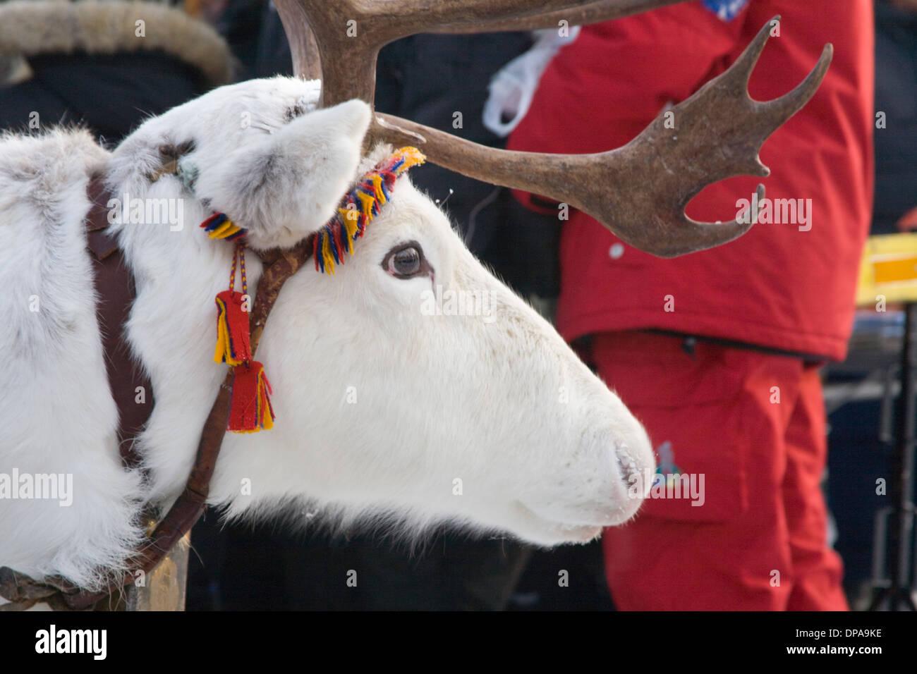 Reindeer caravan Rangifer tarandus Laplander culture Decoration Jokkmokk fair Laponia Sweden - Stock Image
