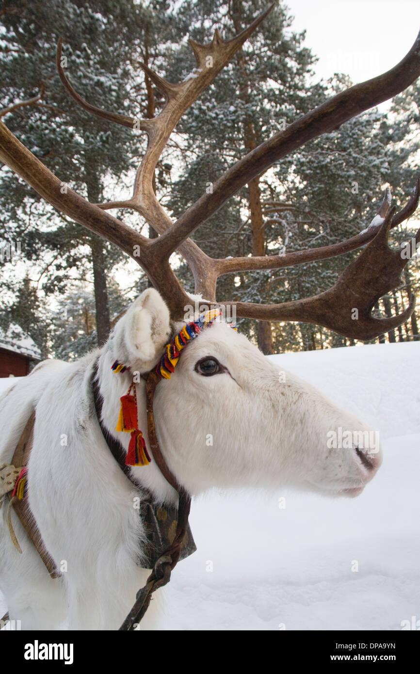 Reindeer Head with Horns Rangifer tarandus Laplander culture Jokkmokk Laponia Sweden - Stock Image