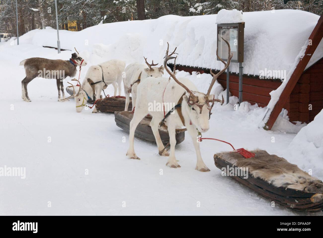 Reindeer caravan Rangifer tarandus Laplander culture Jokkmokk fair Laponia Sweden - Stock Image