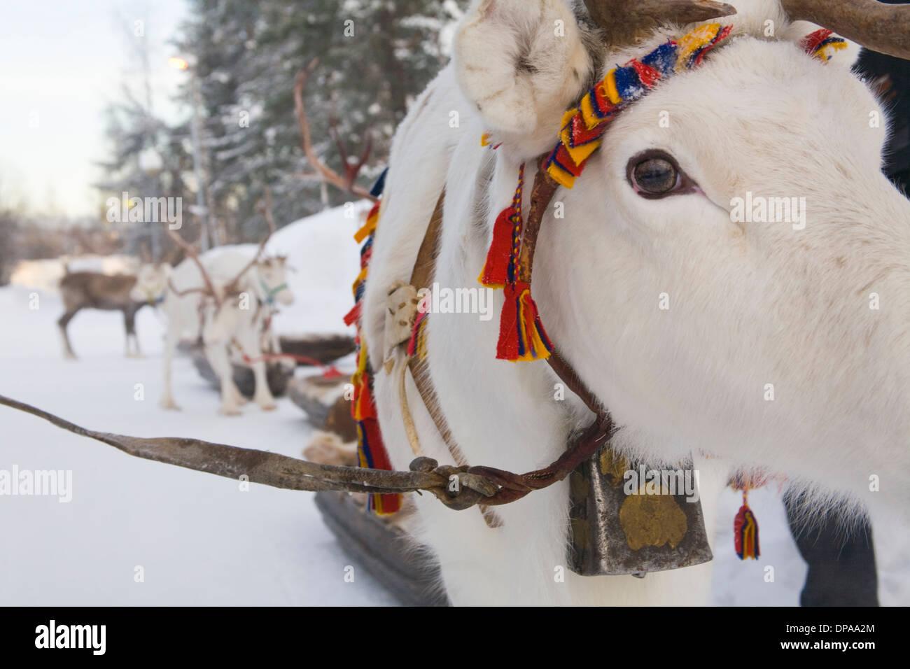 Reindeer caravan Rangifer tarandus Laplander culture Handicraft Decoration Jokkmokk Laponia Sweden - Stock Image