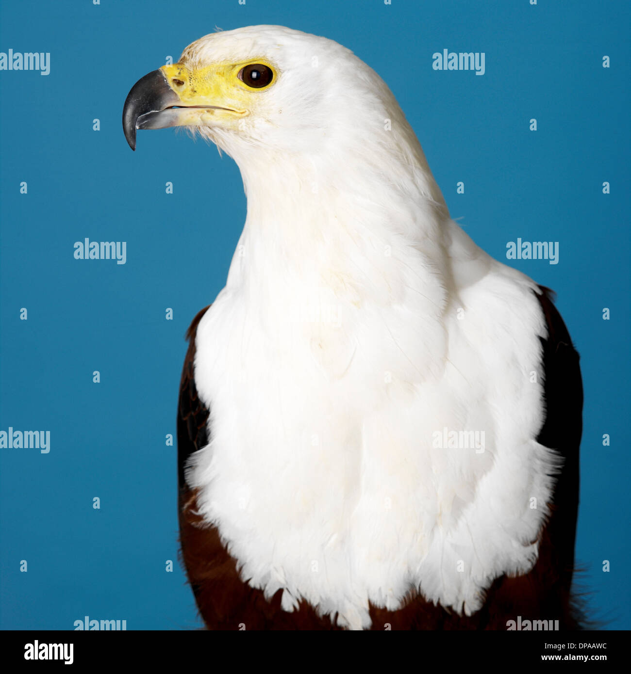 African Fish Eagle - Stock Image