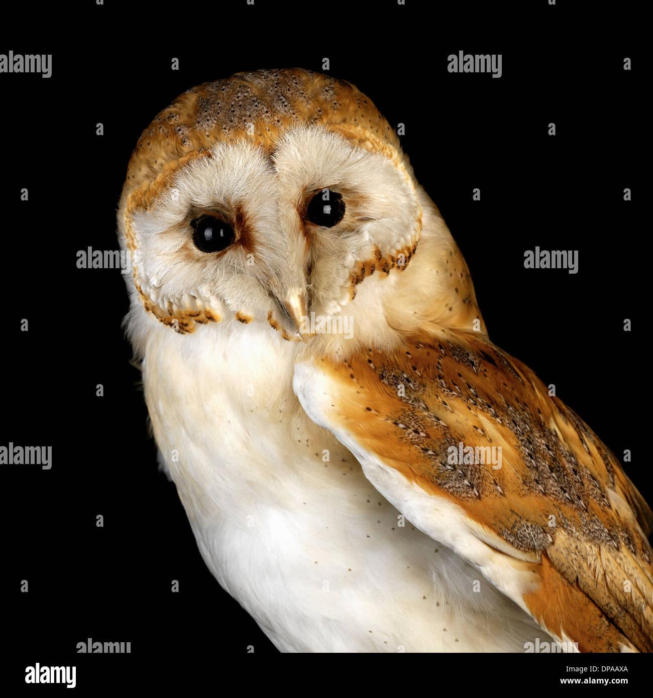 Baby Barn Owl - Stock Image