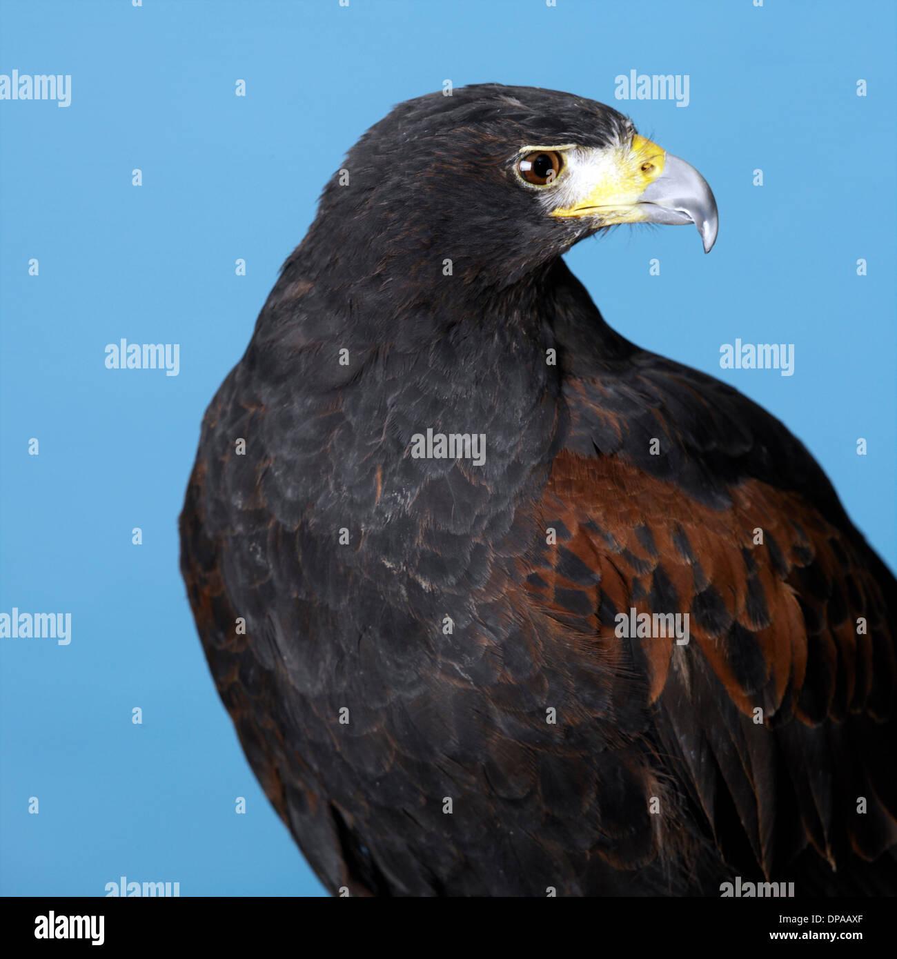 Harris Hawk - Stock Image