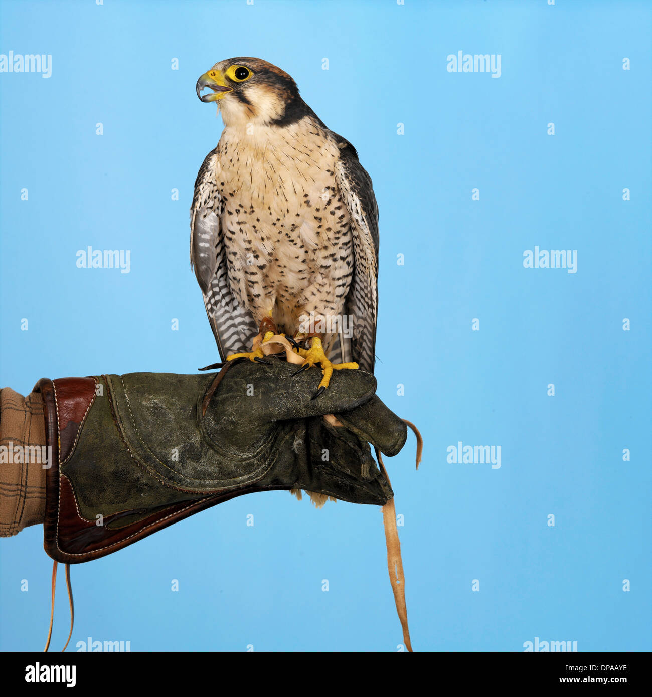 Lanner Falcon perched on hand - Stock Image