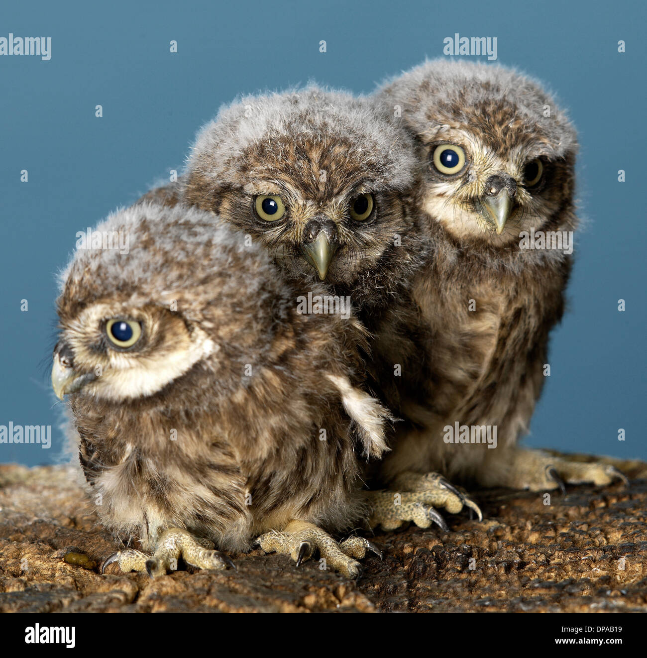 Baby Owls - Stock Image