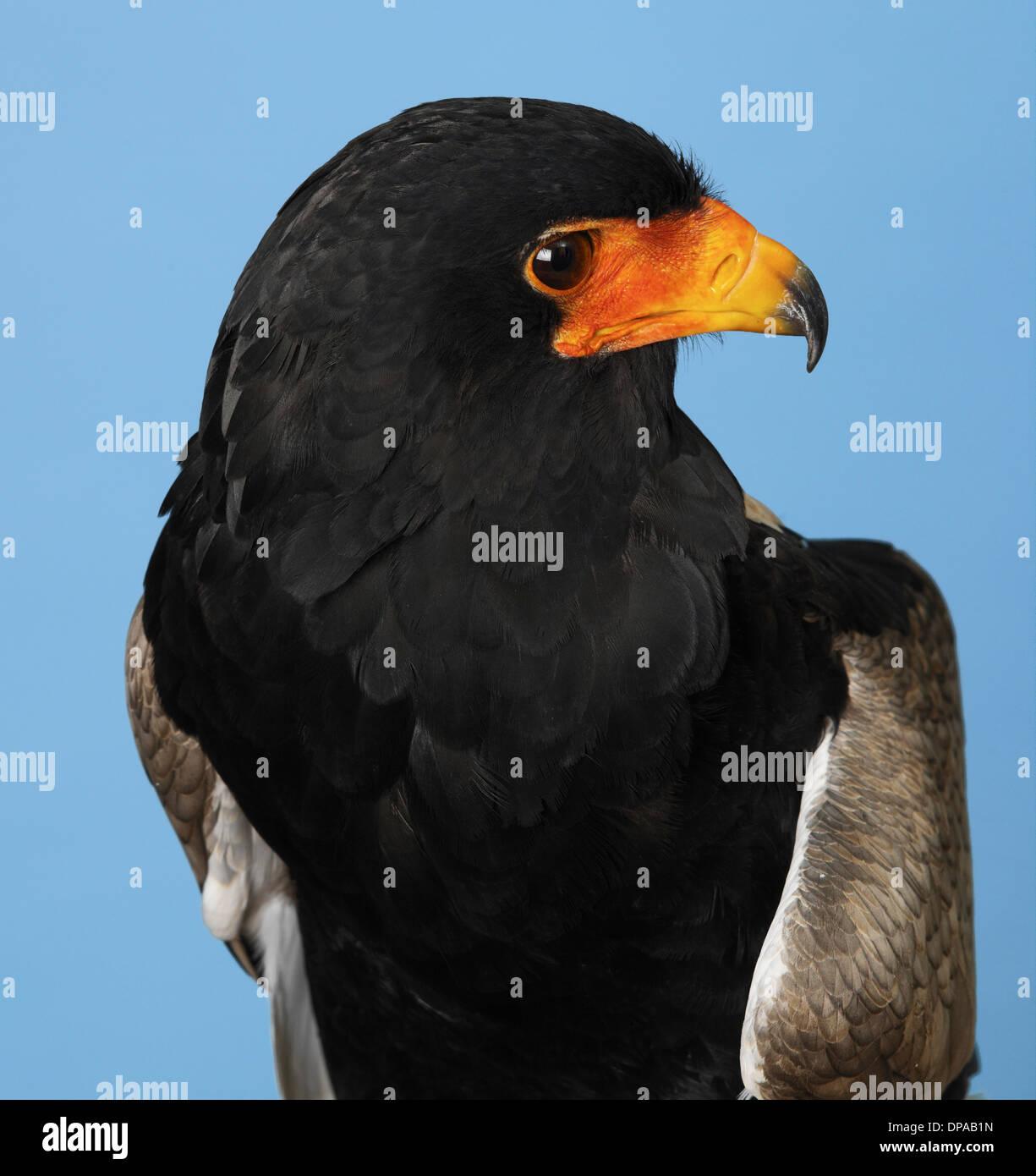 Bateleur Eagle - Stock Image