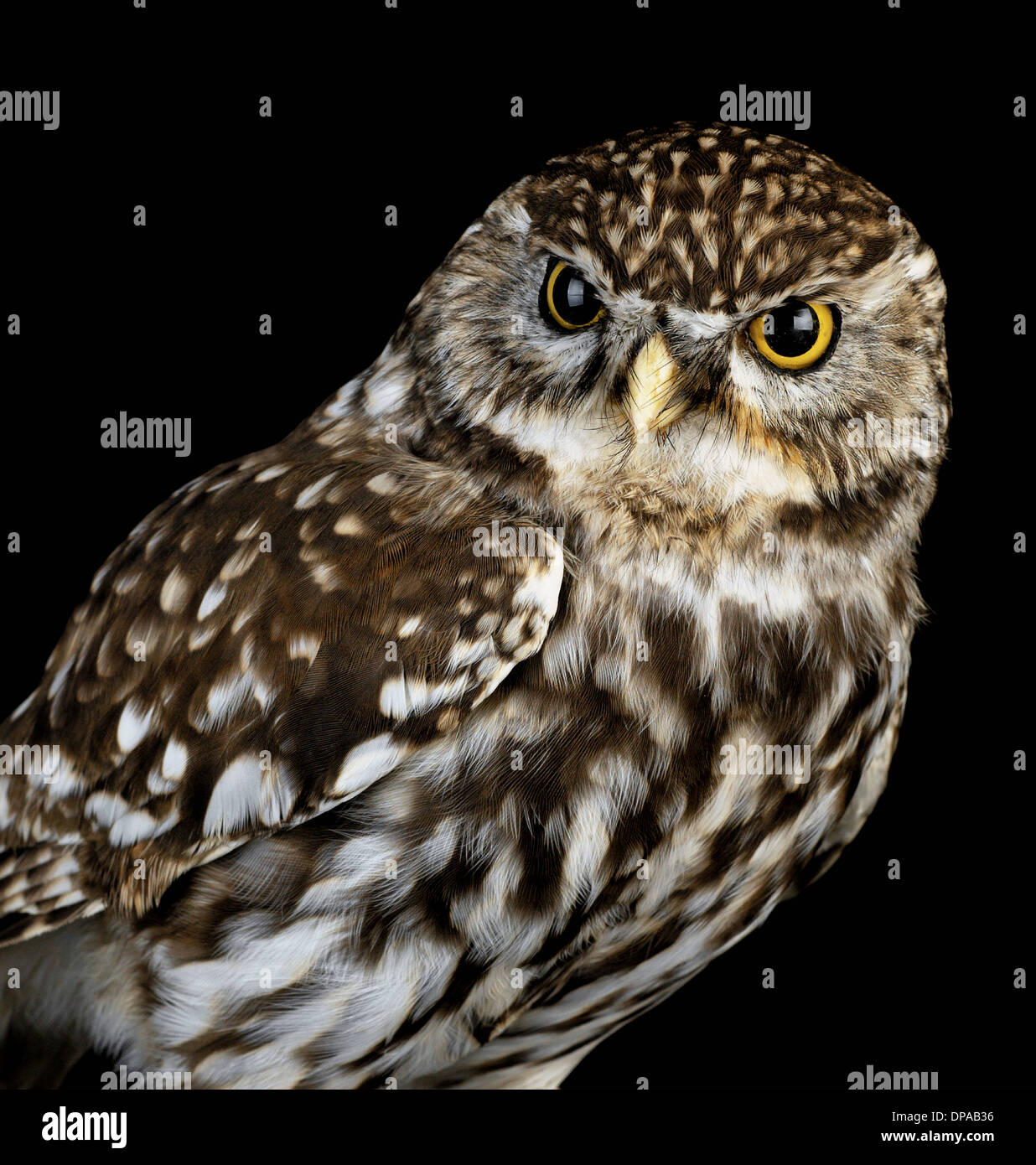 Little Owl - Stock Image