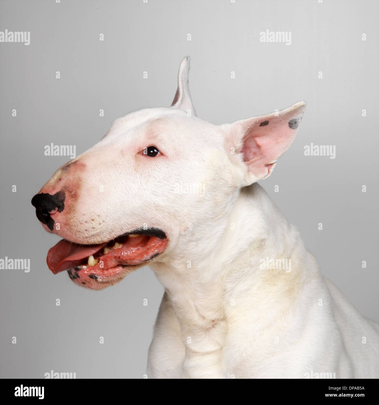 English Bull Terrier panting - Stock Image