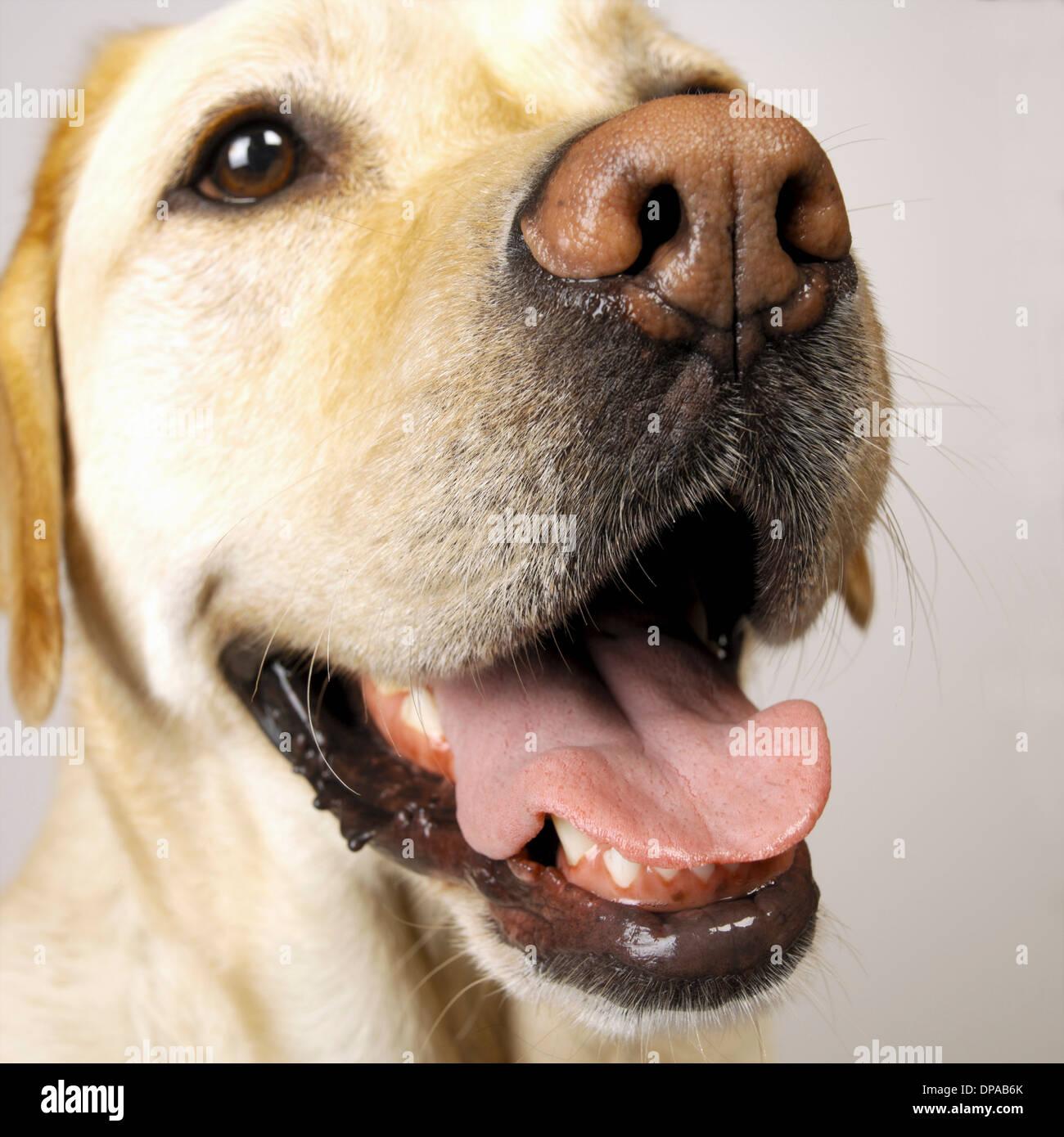 Close up of Labrador tongue out panting - Stock Image