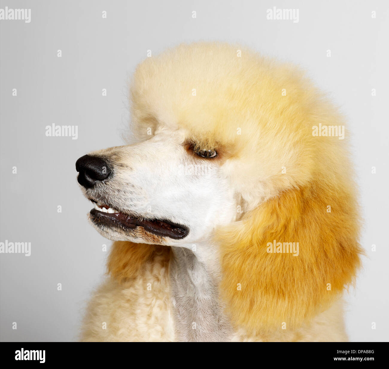 Standard Poodle Stock Photos & Standard Poodle Stock Images - Alamy