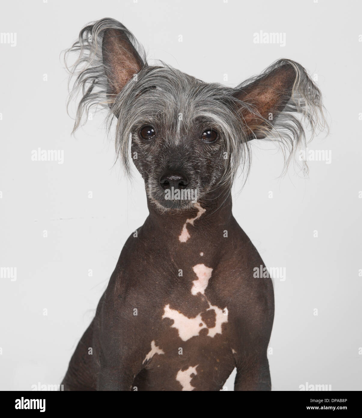 Chinese Crested Dog - Stock Image