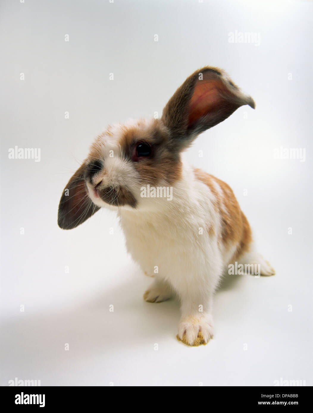 Portrait of lop eared baby rabbit - Stock Image