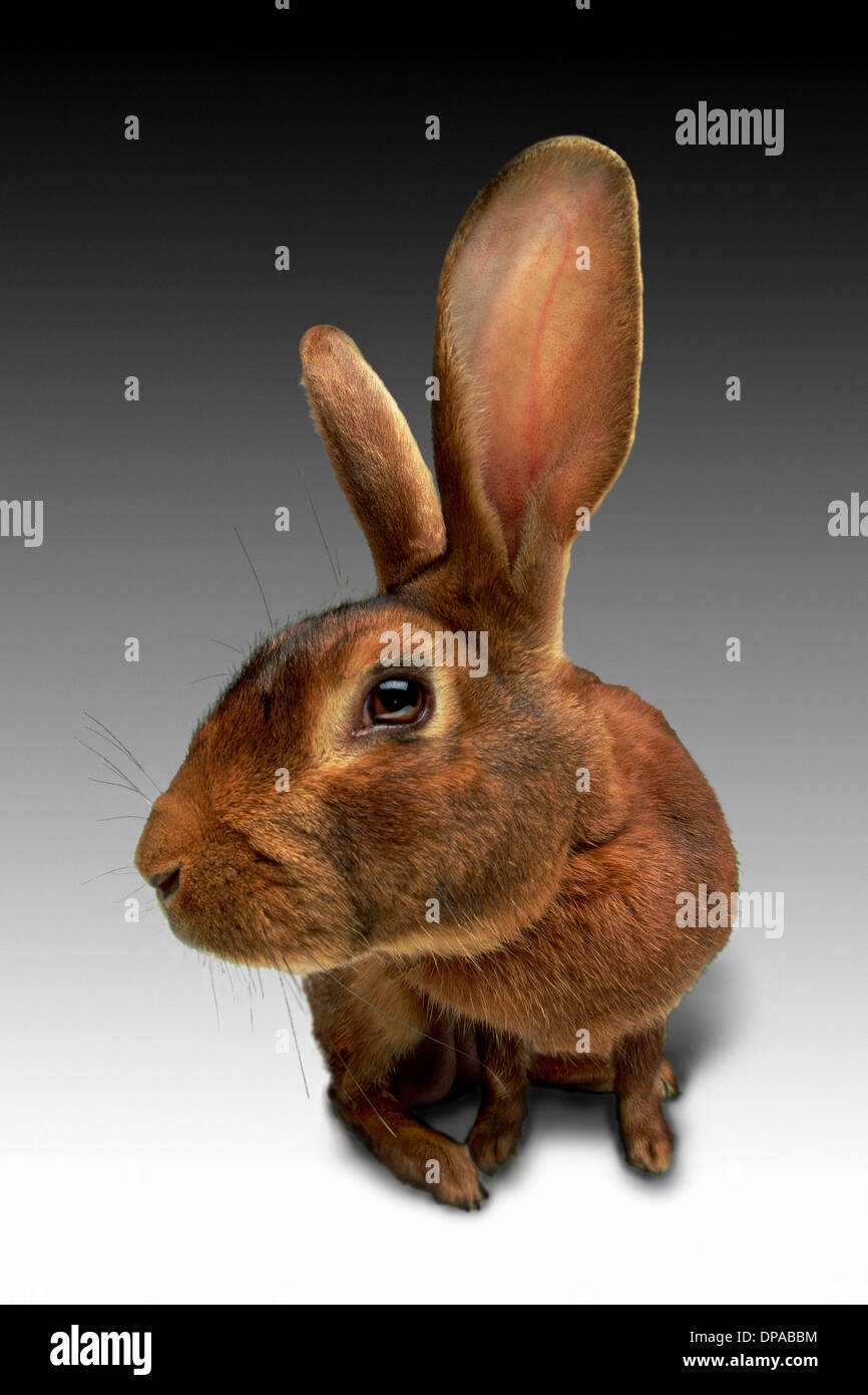 Enlarged view of lop eared rabbit - Stock Image