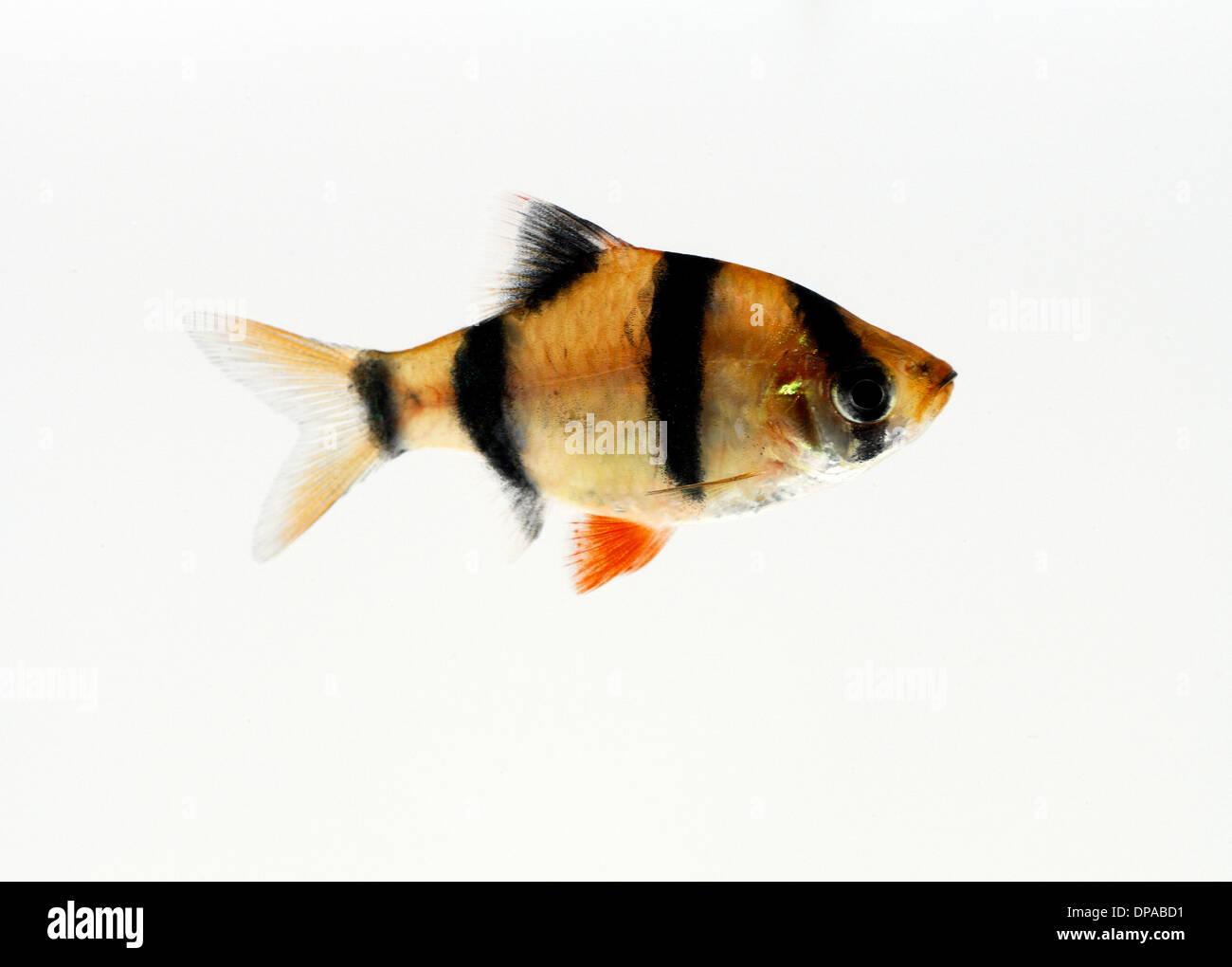 Tiger Barb - Stock Image
