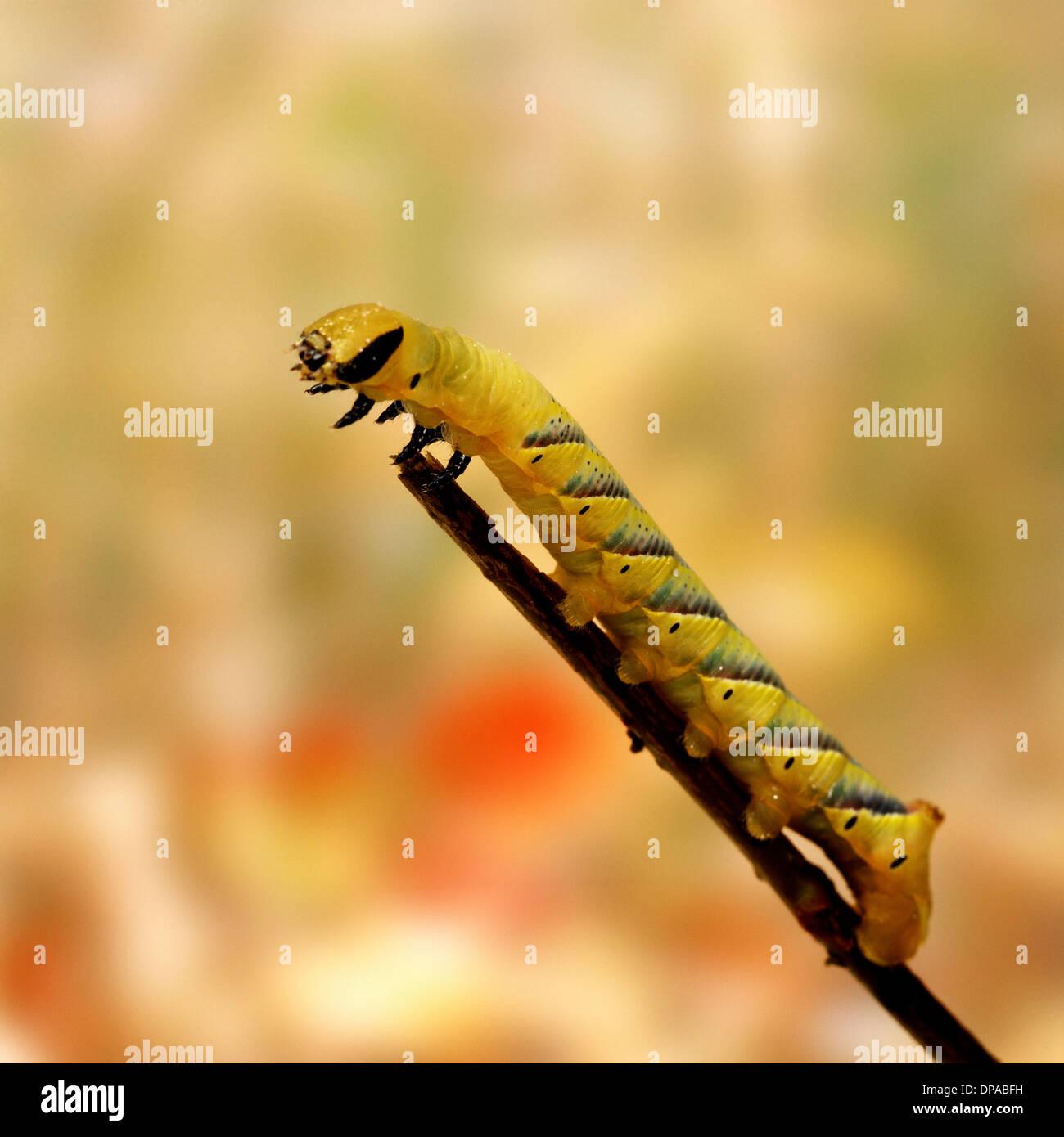Caterpillar on twig - Stock Image