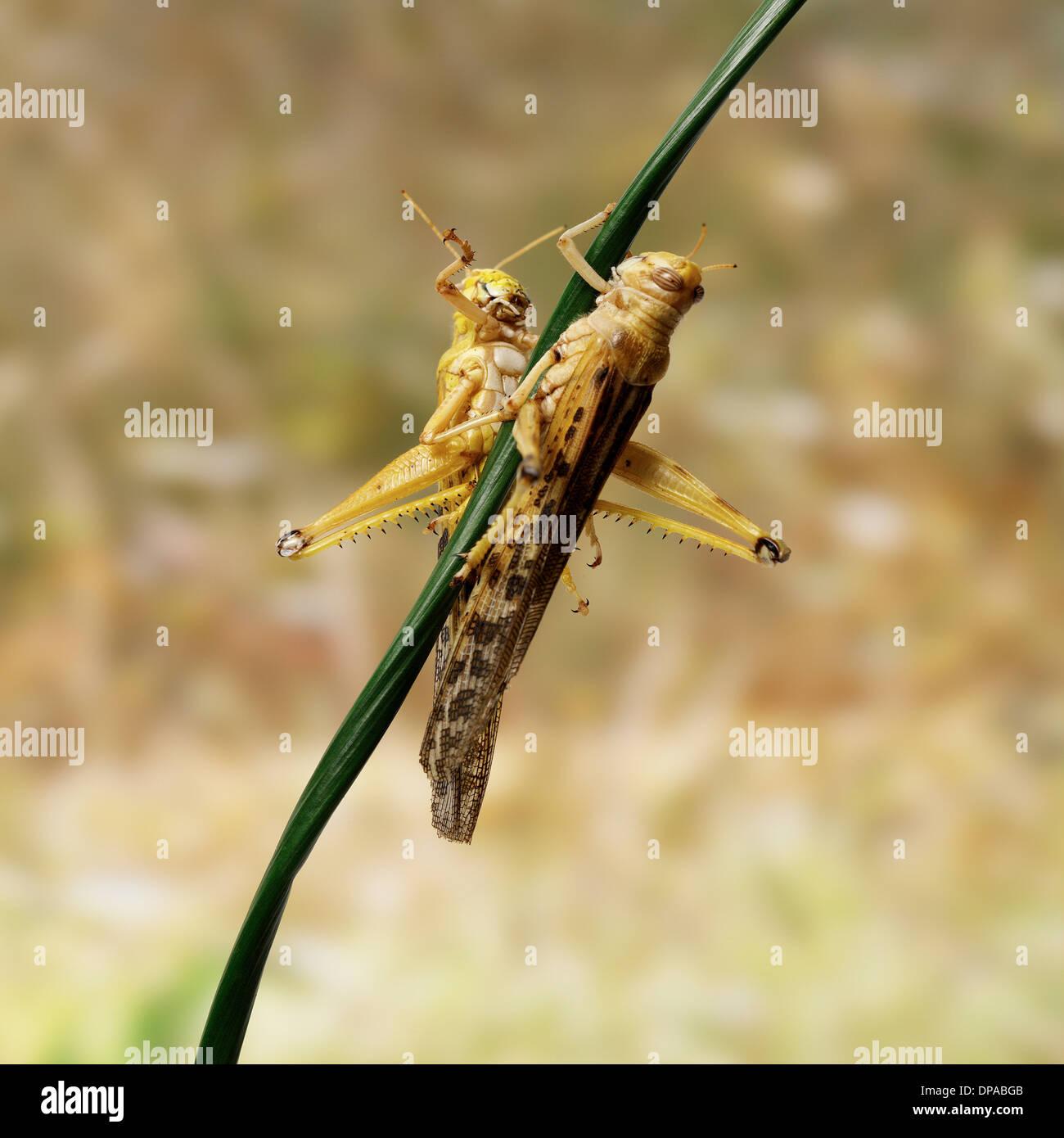 Desert Locusts on twig - Stock Image