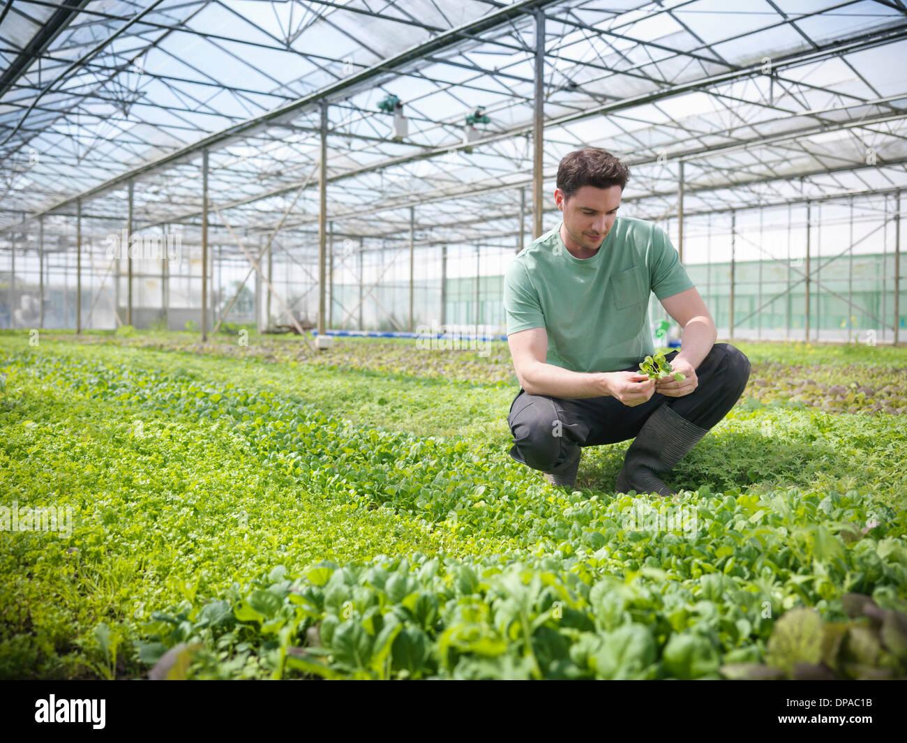 Man checking salad crop - Stock Image