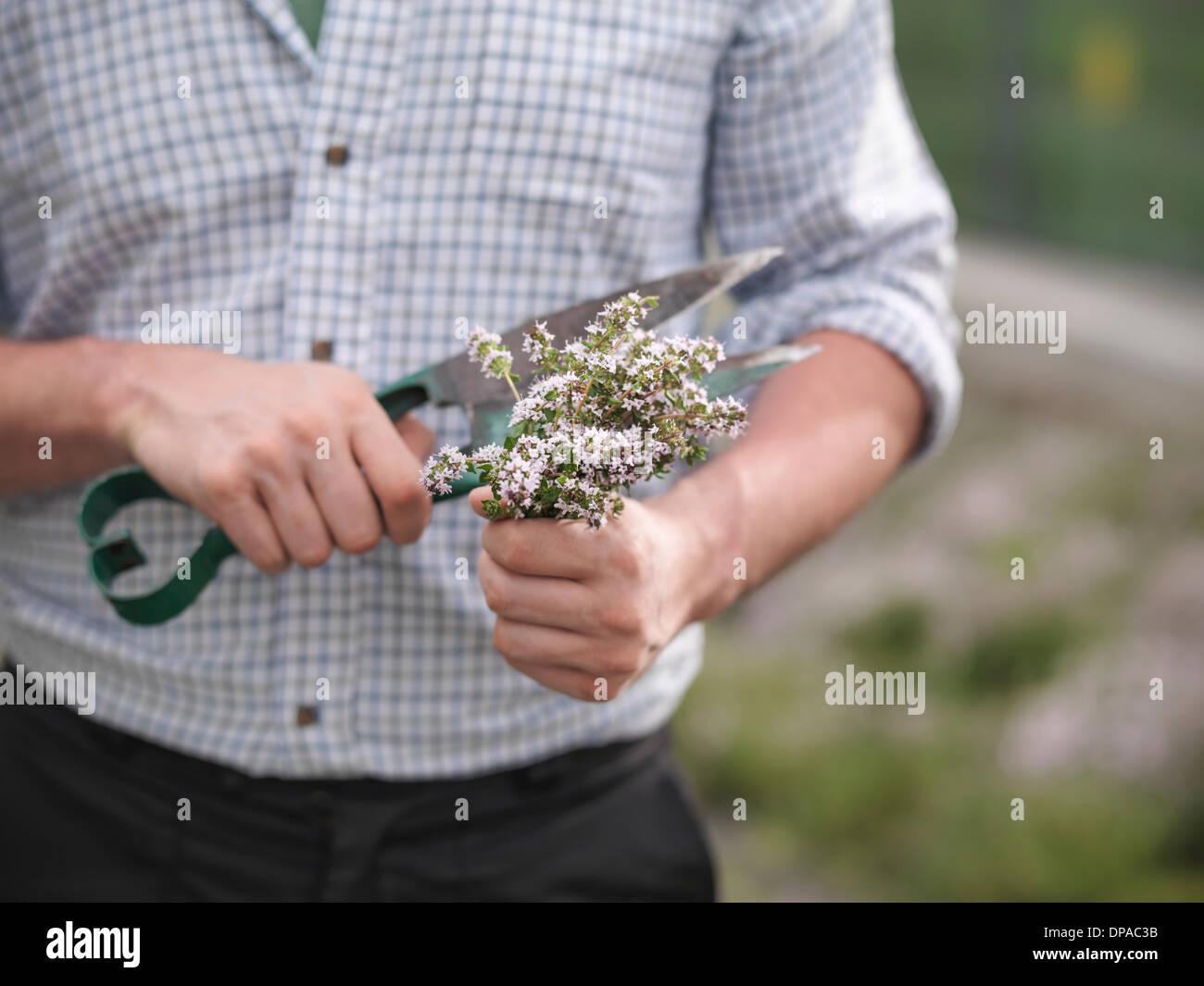 Man trimming fresh thyme - Stock Image