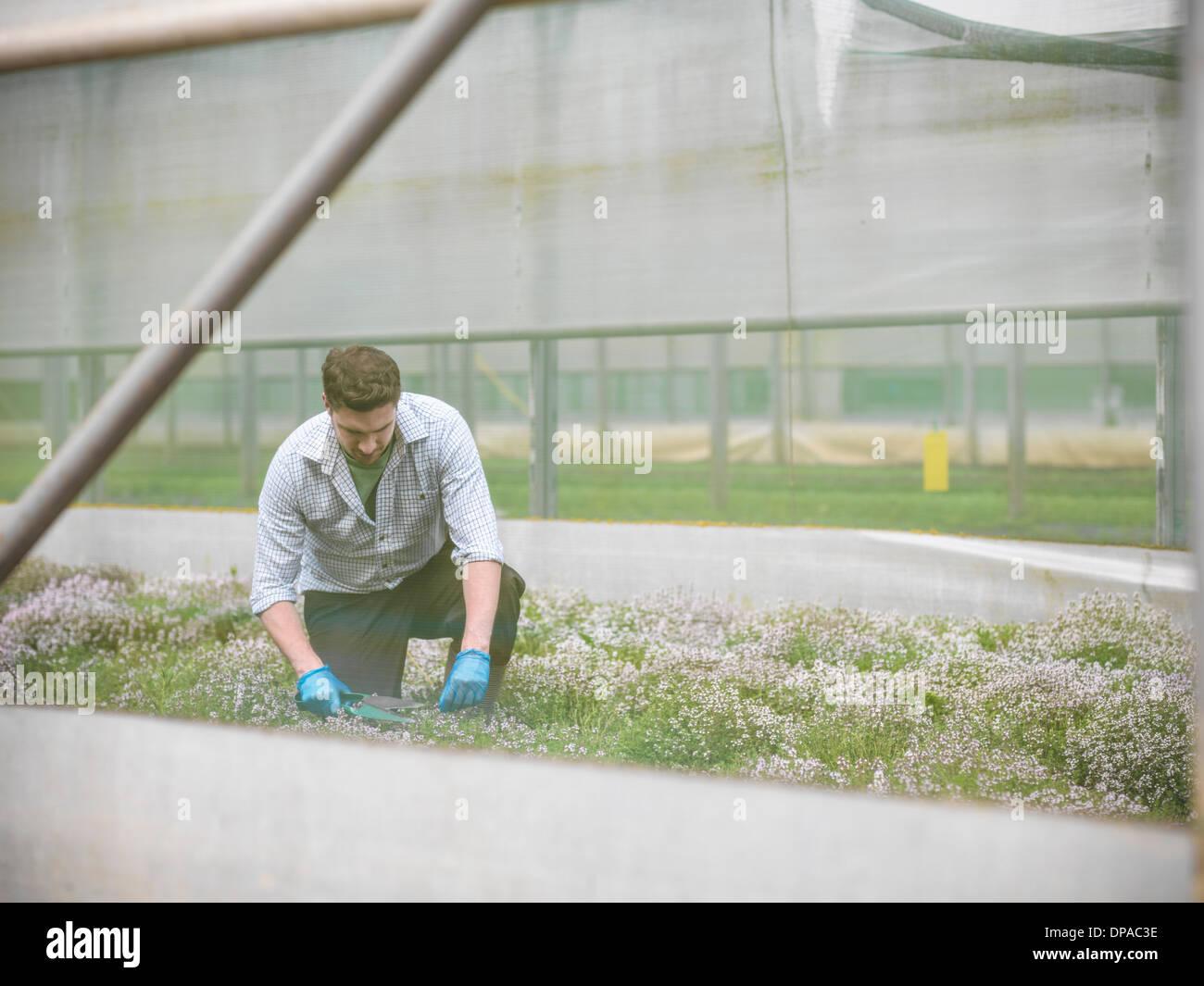 Farmer kneeling to cut thyme - Stock Image