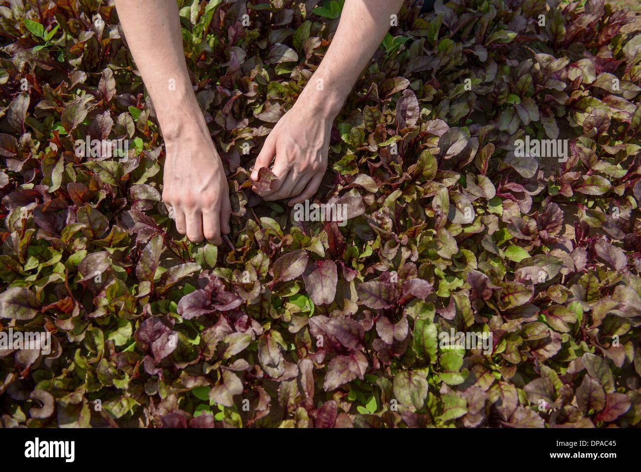 Worker picking salad crop - Stock Image