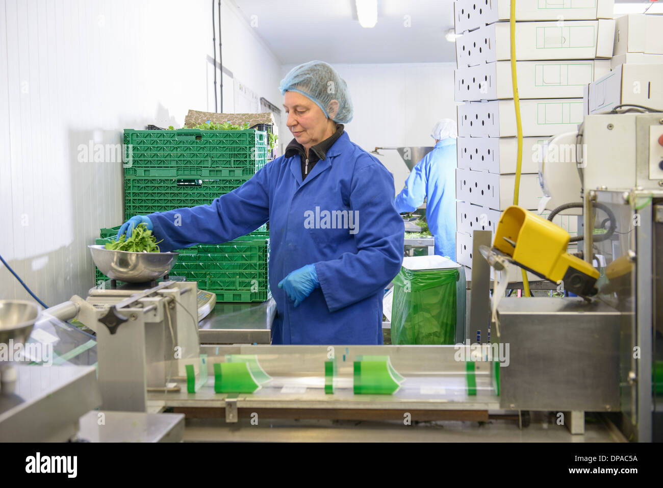 Workers weighing salad leaves - Stock Image