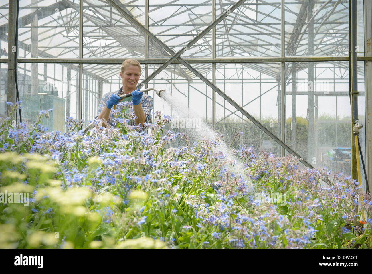 Worker watering borage - Stock Image