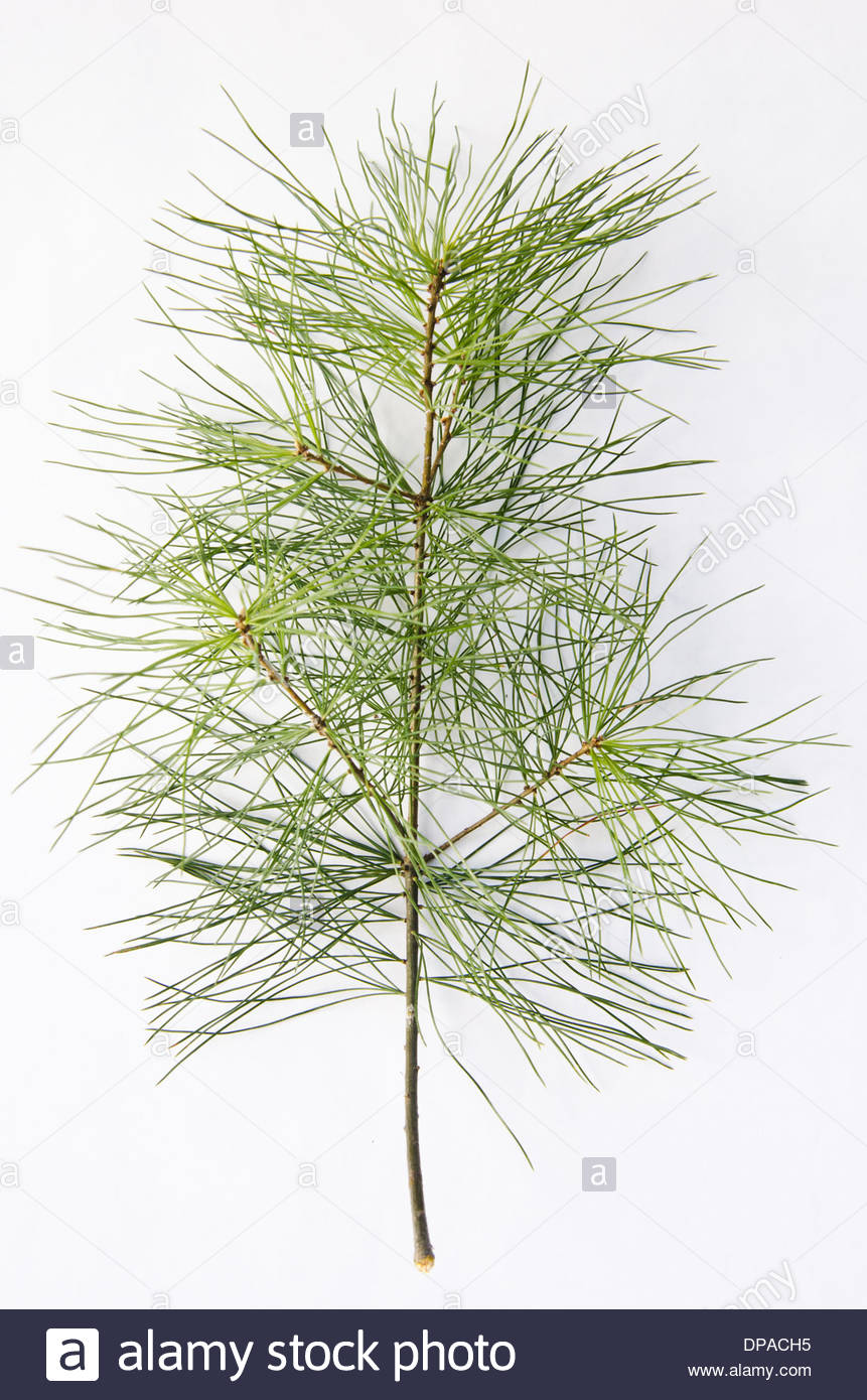 Single pine tree branch with many green pine needle clusters on white background. - Stock Image